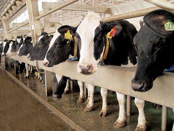 Вьетнамская «TH Group» проинвестирует в молочные фермы в Подмосковье