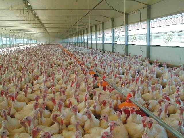 «Hendrix Genetics» запустит производство яиц индейки в России