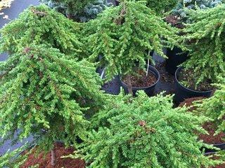 Можжевельник – украшение вашего сада в любое время года