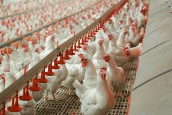 «Серволюкс» рассматривает возможность локализации производства мяса птицы в России