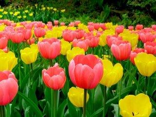 Тюльпаны – особенности и виды