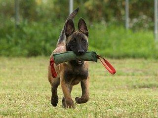 Курсы дрессировки служебных собак
