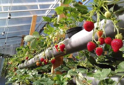 Акционер «Адаманта» решил заняться выращиванием клубники
