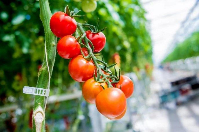 ГК «Рост» вырывается в лидеры на рынке тепличных овощей